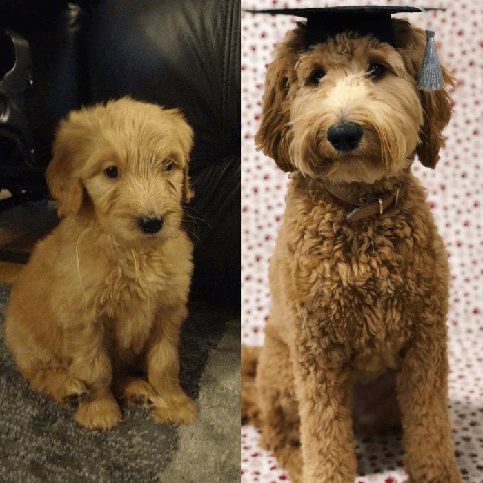 20 фотографий собак, владельцы которых задокументировали их превращение из щенков во взрослых псов
