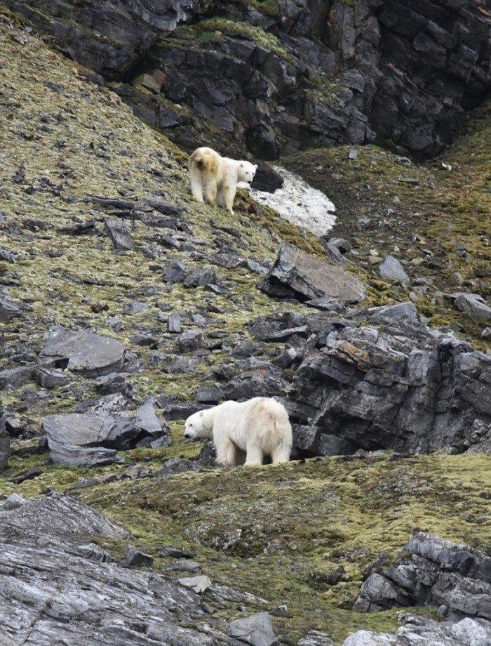 Белых медведей губит глобальное потепление: фотосвидетельства