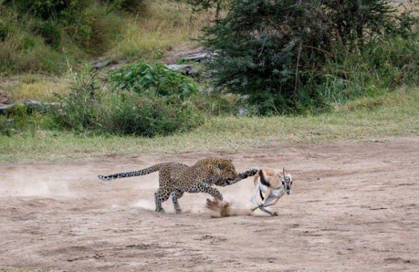Двухсекундная атака: удивительные кадры охоты самки леопарда на газель
