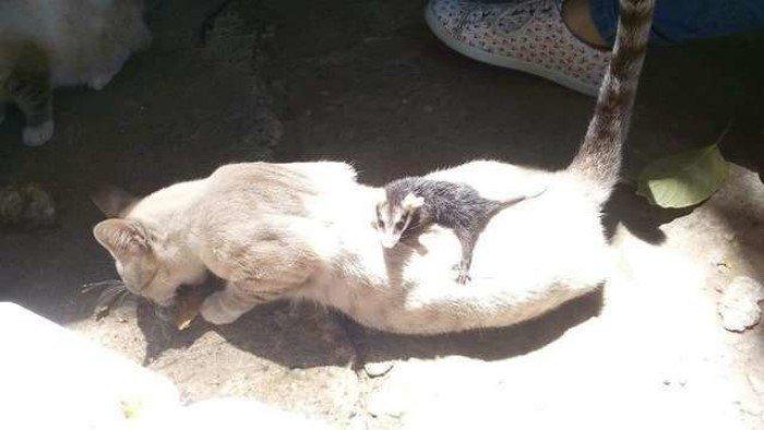 Добродушный кот, которого подобрали на улице, вырос и повторил поступок своих хозяев