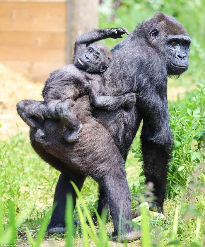 Чудесные фотографии детеныша гориллы из Бристольского зоопарка